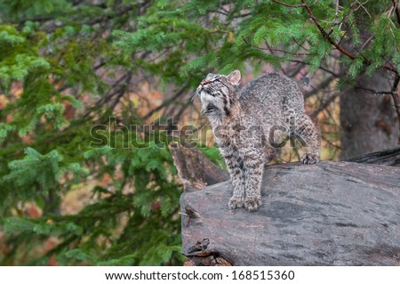 Bobcat Kitten (Lynx rufus) Stands on Log Looking Up - captive animal - stock photo