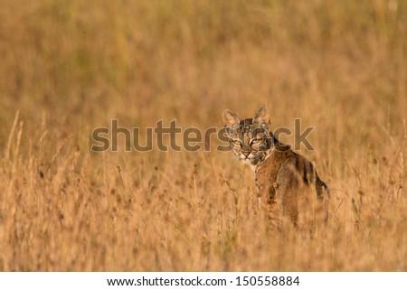Bobcat - Lynx rufus - stock photo
