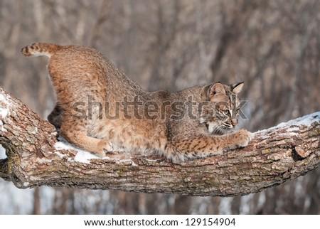 Bobcat (Lynx rufus) Crouches on Snowy Tree Branch - captive animal - stock photo