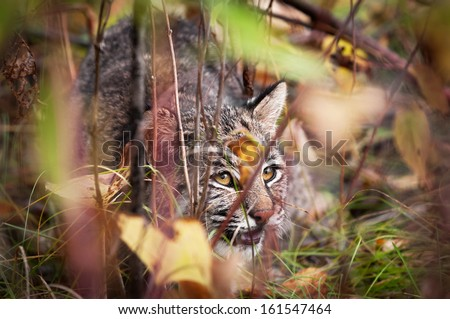 Bobcat (Lynx rufus) Displaying Stalking Behavior - captive animal, extremely tight depth of field - stock photo