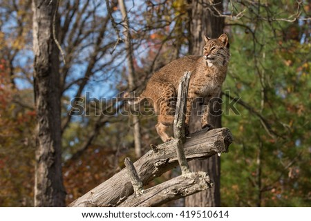 Bobcat (Lynx rufus) Looks Left Atop Branch - captive animal