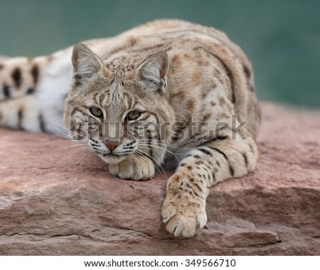 Bobcat (Lynx rufus) on rock - stock photo
