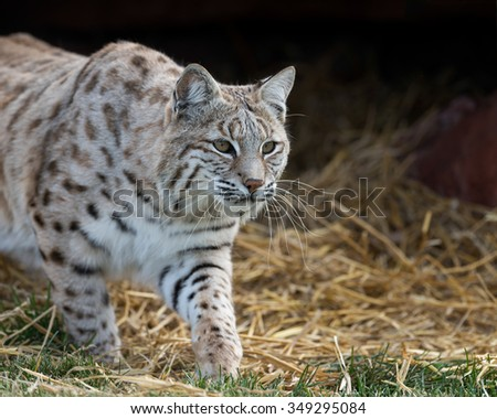 Bobcat (Lynx rufus) on the prowl - stock photo