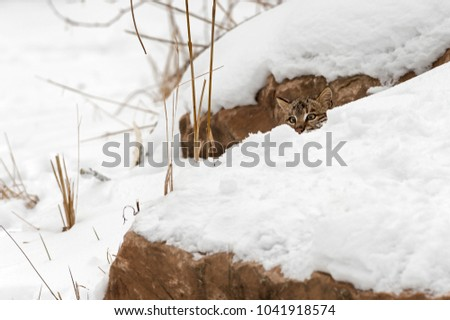 Bobcat (Lynx rufus) Peeks From Behind Snow - captive animal