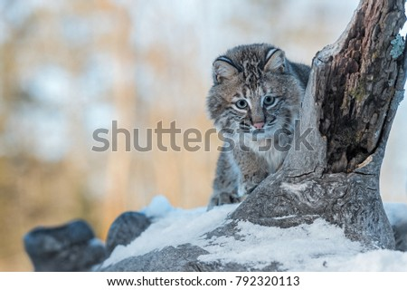 Bobcat (Lynx rufus) Peers Around Log - captive animal