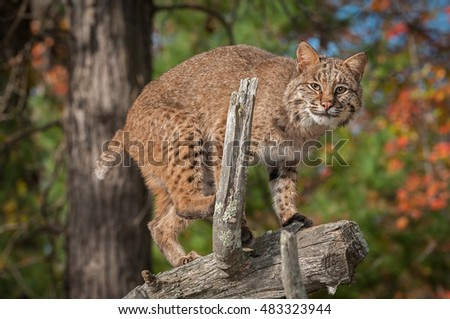 Bobcat (Lynx rufus) Prepares to Jump Off Branch - captive animal