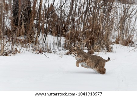 Bobcat (Lynx rufus) Runs Past Brush - captive animals
