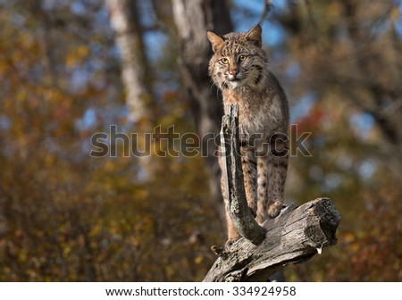 Bobcat (Lynx rufus) Stands Atop Log - captive animal
