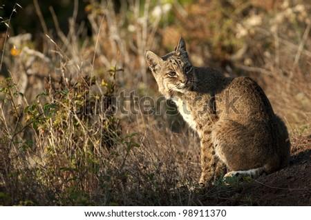 Bobcat on Sitting on Hillside - stock photo