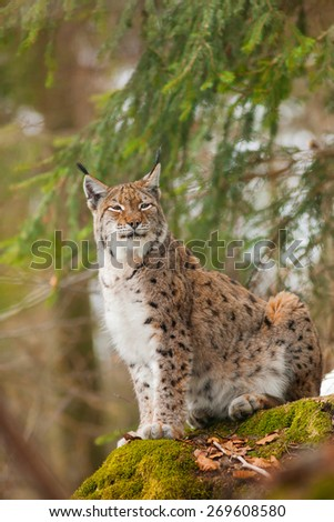 bobcat or lynx portrait - stock photo