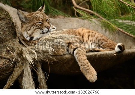 Bobcat Relaxing on a Hammock - stock photo