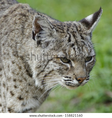bobcat stalking prey lynx rufus californicus - stock photo