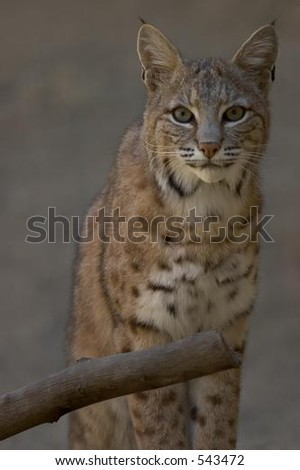 Bobcat Staring into Camera, close-up