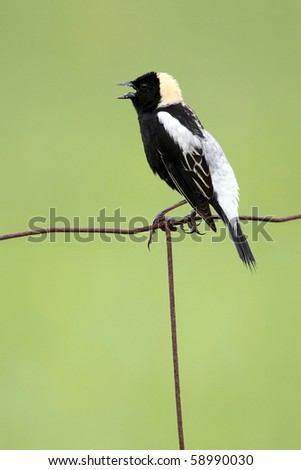 Bobolink singing on a wire fence - stock photo