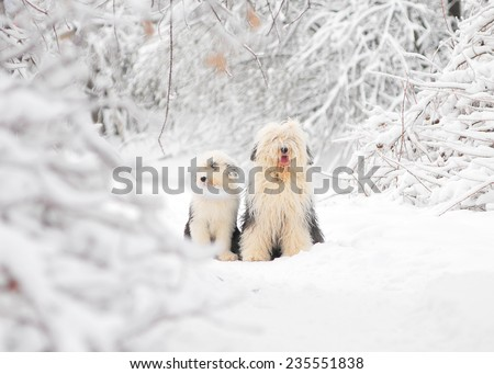 bobtail dog with puppy in winter - stock photo