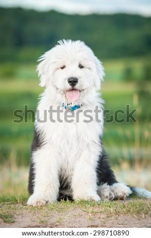 Bobtail puppy sitting outdoors - stock photo
