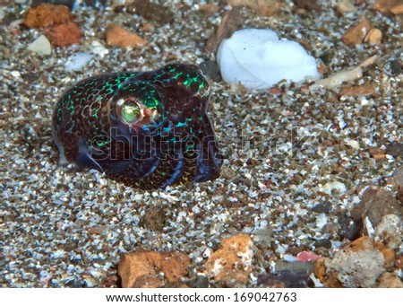 Bobtail squid, Euprymna sp., a creature with shimmering fluorescent green markings imaged on gravel seafloor in Lembeh Straits, Indonesia.