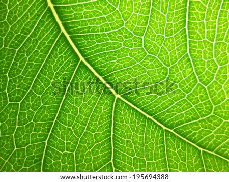 bodhi leaf macro pattern of green - stock photo
