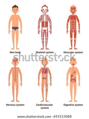 Body Anatomy Men Nerves Muscular Systems Stock Illustration ...