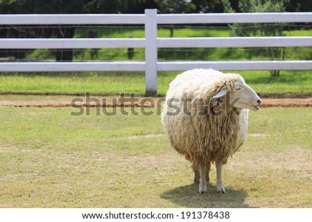 body part of sheep face standing on green grass field in ranch farm