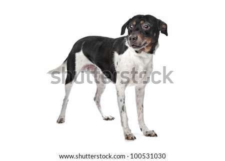 Boerenfox (Dutch Terrier) in front of a white background