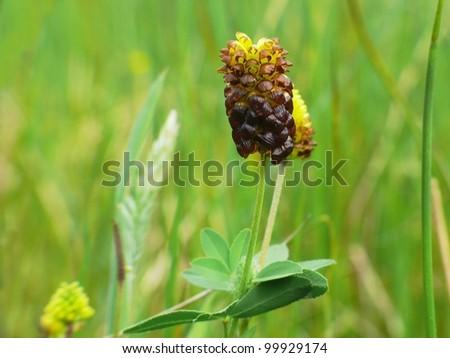 Bog clover, Trifolium spadiceum - stock photo