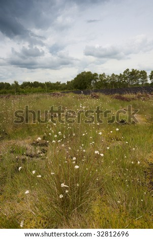 bog cotton and wild grass in bogland near Drumlish, Co.longford - stock photo