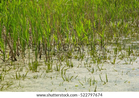 Bog, morass, swamp, marsh ecology system with duckweed