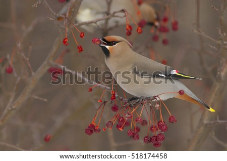 Bohemian Waxwing (Bombycilla garrulus) feeding on red berries