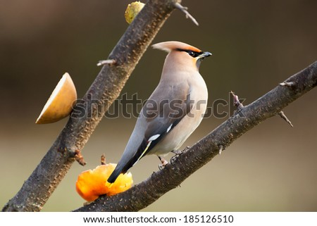 Bohemian Waxwing (Bombycilla garrulus) perched on a tree branch with sliced apples for feeding, Sweden
