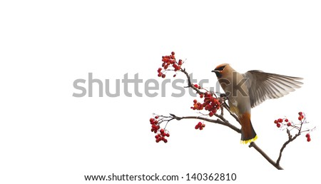 Bohemian waxwing perched on a mountain ash tree, eating berries in the winter, isolated on white. - stock photo