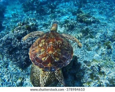 BOHOL/PHILIPPINES - CIRCA DECEMBER 2015: A sea turtle swimming near the coral reef in the waters south of Alona Beach and Panglao island - stock photo