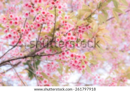 Bokeh autumn sakura pink flower background. Northern Thailand Sakura at Chiang Mai province. - stock photo