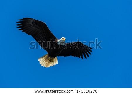 Bold Eagle - stock photo