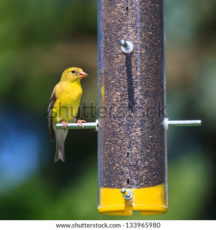 Bold gold and yellow feathers, a goldfinch munches thistle seed. The finch is perched on a transparent tube feeder that is filled with brown seeds. Background of soft sky blues and tree greens. - stock photo