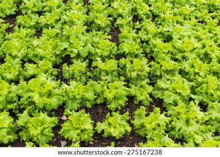 Bold green vegetables on the plot. - stock photo