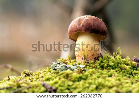 Bolete in moss in forest - stock photo