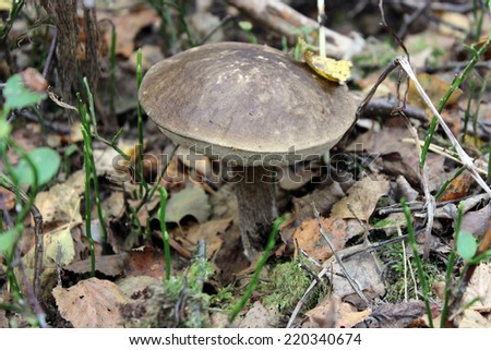 Boletus among fallen leaves in the forest