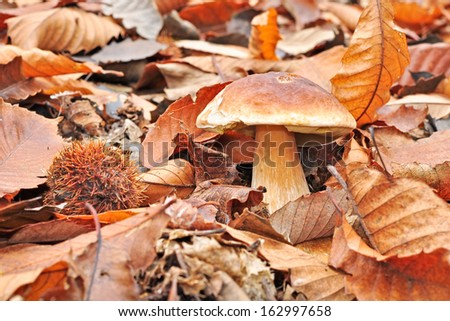 Boletus. Edible mushroom. - stock photo