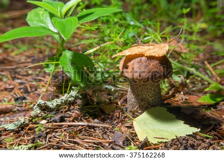 Boletus edulis mushrooms covered with a leaf birch