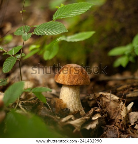 Boletus in the forest. Autumn in the forest. Macro perspective. Green leaves. Mushroom, fungus growing in the forest bed. Go to mushrooming. Organic food. - stock photo