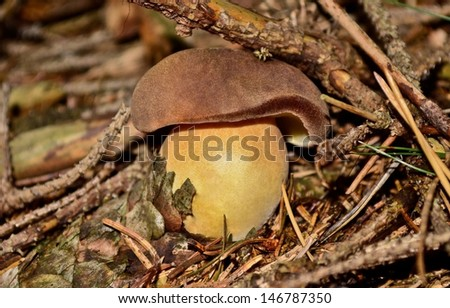 boletus, mushroom growing in the forest moss.