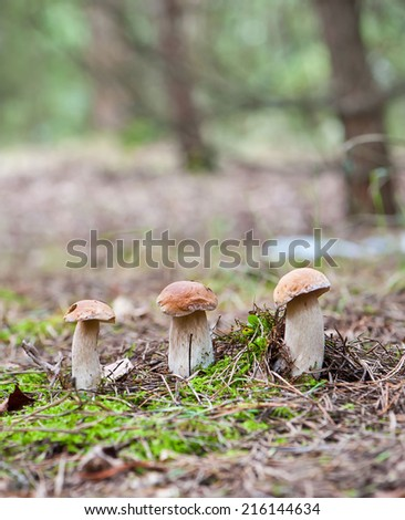 boletus mushrooms in oak forest - stock photo