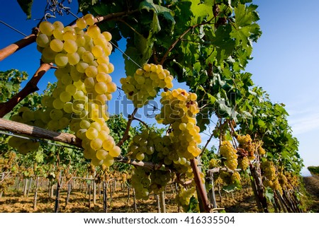 Bolgheri valley, vineyard, wine grape, Processing and care of the vineyards in Tuscany, Italy of red and white wine  - stock photo