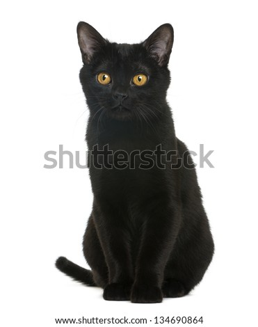 Bombay kitten sitting and looking away, isolated on white - stock photo