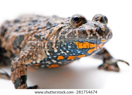 Bombina bombina. European Fire-bellied toad on white background. - stock photo