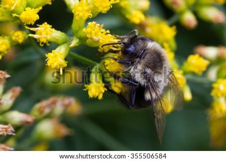 Bombus impatiens, Common Eastern Bumble Bee - stock photo