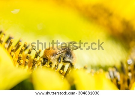 Bombus species bumblebee foraging for nectar and pollen on a sunflower, close up macro side view of the bee.
