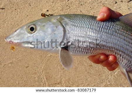 Bonefish caught fly fishing on the flats in Mexico - stock photo