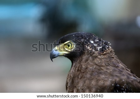 Bonelli's Eagle in the zoo